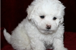 Be My Valentine  www.petquestrian.com | Puppy at 9 weeks of age for sale
