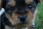 Cairn Terrier for sale