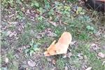 Picture of Miss Kitty AKC Pembroke Welsh Corgi Female puppy