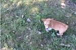 Picture of Ben AKC Pembroke Welsh Corgi Male puppy