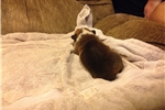 Picture of Tori AKC Pembroke Welsh Corgi Female puppy