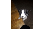 Picture of Male puppy for sale