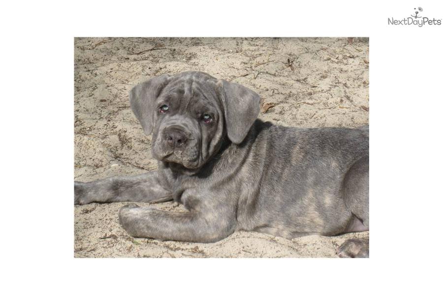 Pin Hoobly Beautiful Cane Corso Italian Mastiff Puppies Ch ...