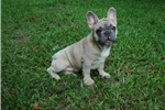 Picture of AKC Euro line Blue Fawn male French Bulldog