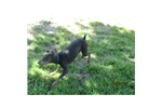 Picture of a German Pinscher Puppy