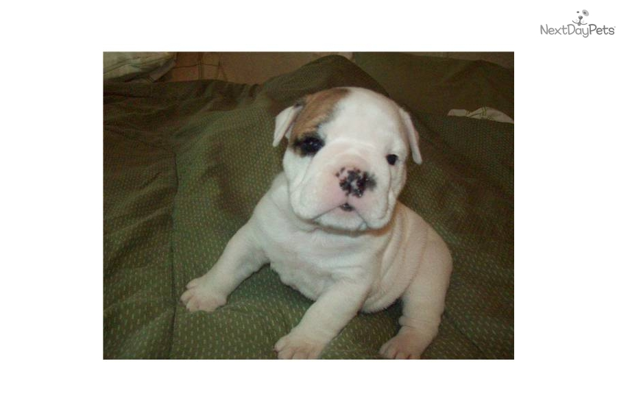 english bulldog for sale no papers Find french bulldogs for sale in san diego on oodle classifieds join millions of people using oodle to find puppies for adoption,  french bulldog.