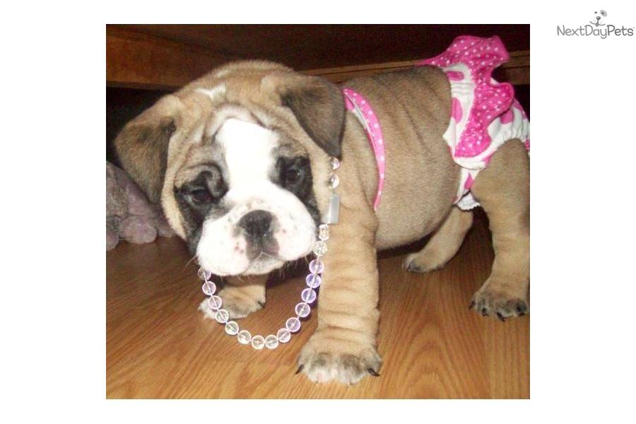 English bulldog puppy for sale near fort smith arkansas ebf241ea