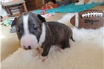 Picture of AKC Bull Terrier Rowdy