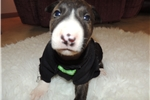 Picture of AKC Bull Terrier Nash