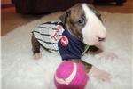 Picture of AKC Bull Terrier Nitro
