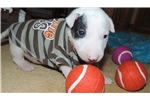 AKC Bull Terrier Male Tirebiter | Puppy at 3 weeks of age for sale