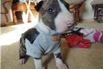 Picture of AKC Bull Terrier Rugar