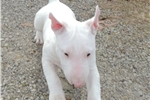 AKC Bull Terrier Male Tootie | Puppy at 12 weeks of age for sale