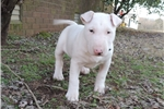 AKC Bull Terrier Male Treasure | Puppy at 12 weeks of age for sale