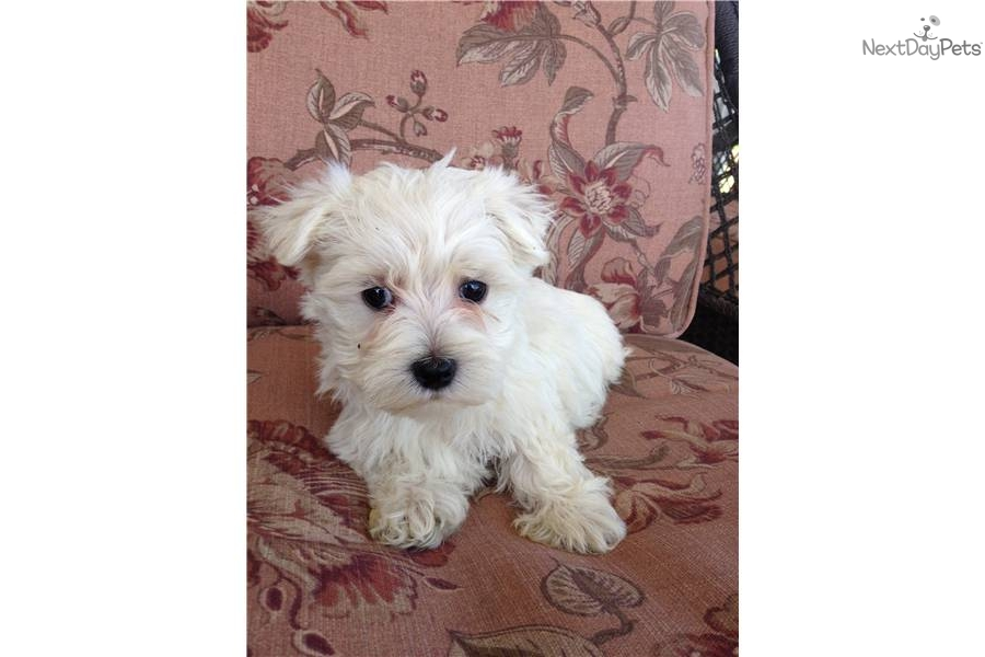 Maltese Dogs For Sale In Rhode Island