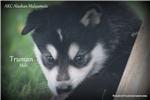 Picture of AKC Alaskan Malamute
