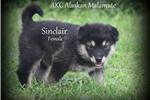 Picture of AKC Alaskan Malamute Female