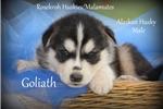 Picture of Siberian husky/Alaskan Malamute hybrid