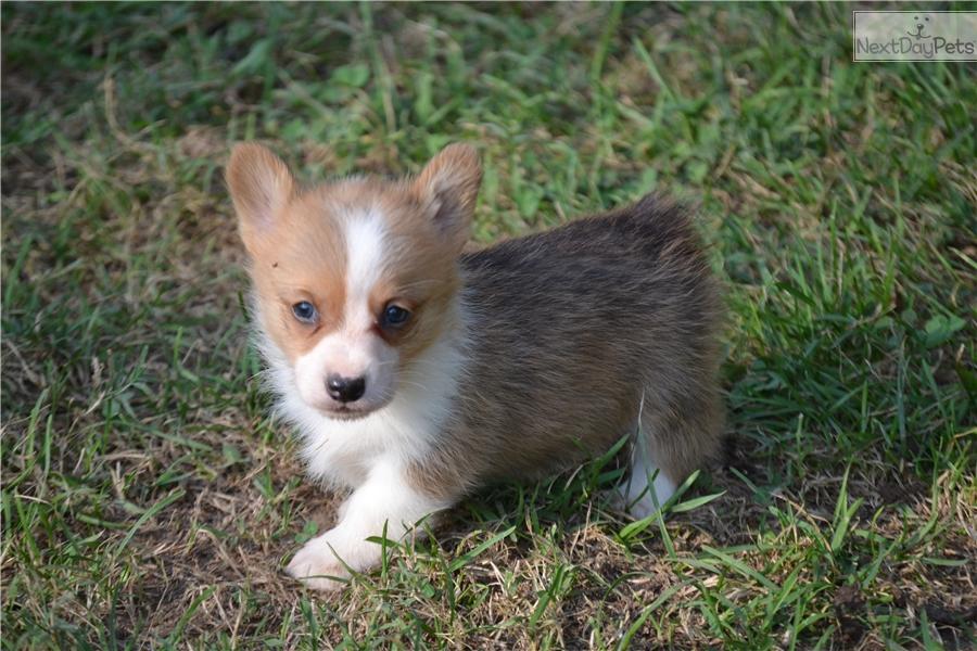 Corgi Dogs For Sale In Missouri