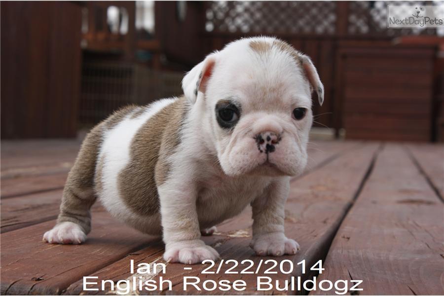 Grey English Bulldog Puppies
