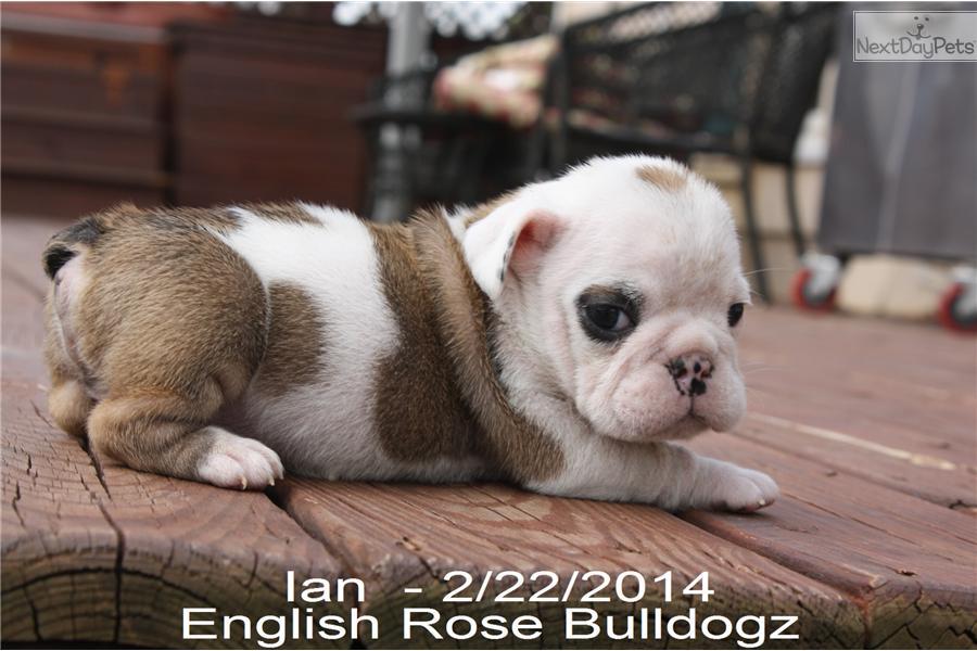 English Bulldog puppy for sale for $1,700. I'm Ian! Little Silver/Grey ...