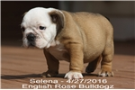 Picture of  Meet Selena!  Sable Chocolate Carrier!  Ready Now