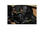 Picture of Beauceron pups
