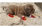 Picture of Shar-pei puppy for sale platinum lilac