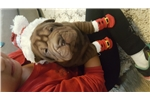Picture of Shar-pei puppy for sale Chocolate female