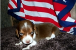 Picture of Male Beagle (Shipping Included)