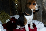 Picture of Female Beagle (Shipping Included)