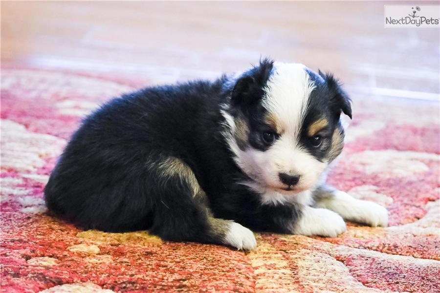 Australian shepherd puppies for sale in kansas miniature australian