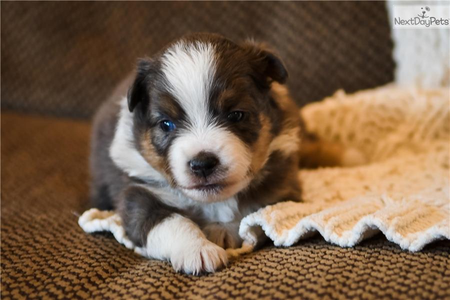 Australian shepherd puppy for sale near northwest ks kansas