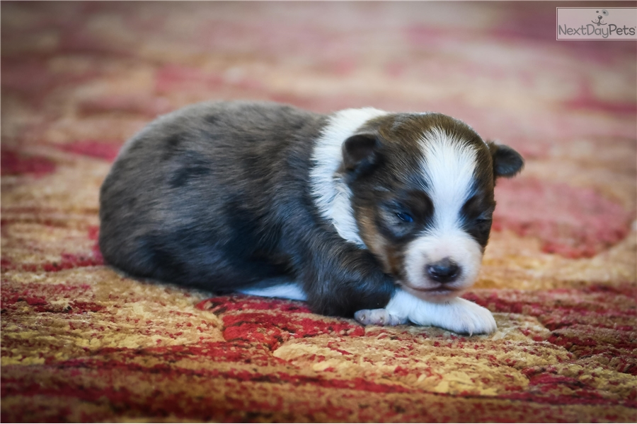 Mini australian shepherds for sale in kansas dog breeds picture