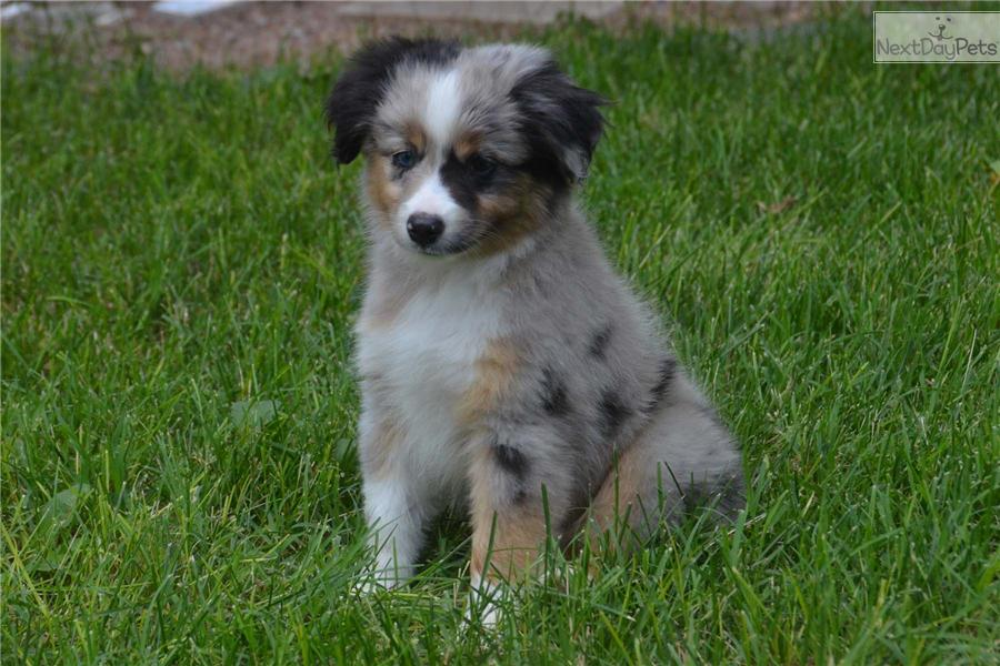 Miniature australian shepherd puppy for sale near northwest ks kansas