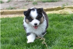 Picture of Buck - Toy/Mini Australian Shepherd