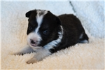 Picture of Lily - Toy Australian Shepherd