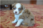 Picture of Toy Australian Shepherd - Chilly