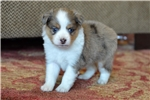 Picture of Stuffy - Toy Australian Shepherd