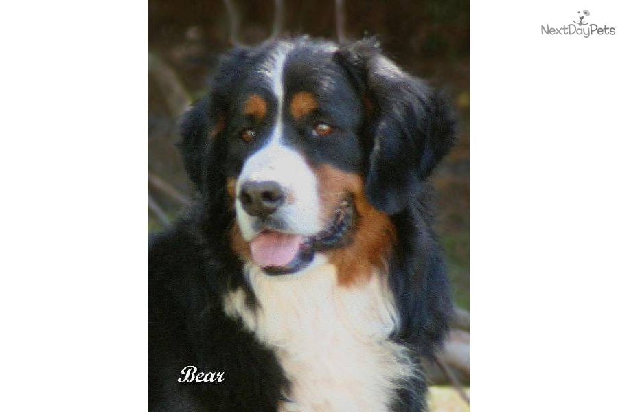 Bernese Mountain Dog Rescue California