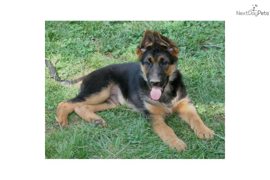 Pics Photos - Related Pictures German Shepherd Funny Face Wallpapers ...