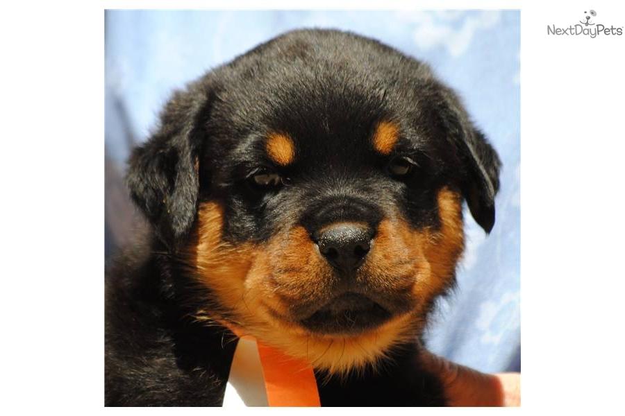 akc-rottweiler-puppies-for-saledog-rottweiler-puppy-70f48f70-1bca-48a3 ...