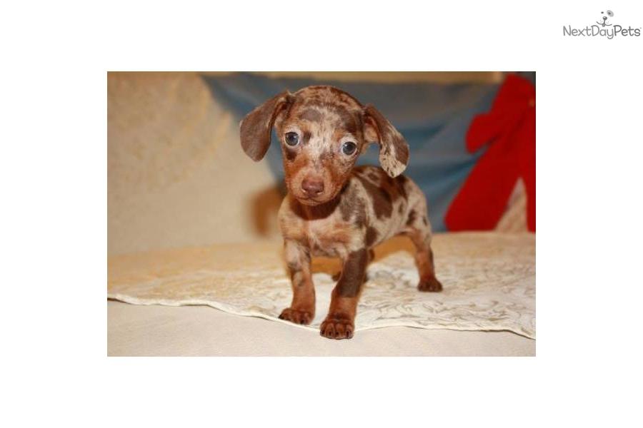 Dachshund, Mini puppy for sale near New York City, New York | 61cb6572 ...