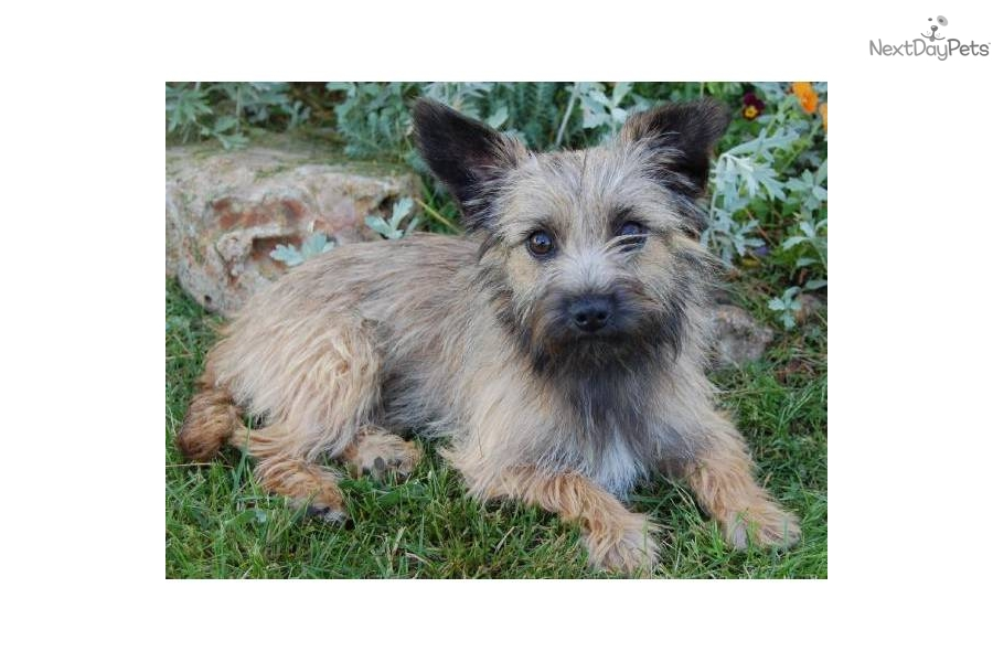 cairn terrier puppy for adoption near
