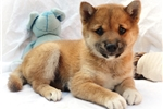 Naoki - PRECIOUS Red Shiba Girl - AKC | Puppy at 8 weeks of age for sale