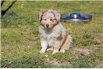 Picture of AKC/ASCA RED MERLE FEMALE