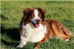 Picture of 2YO STUD DOG