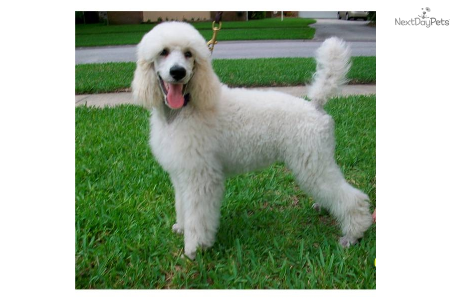 Poodle Standard For Sale For 800 Near Tampa Bay Area