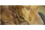 Rhodesian Ridgebacks for sale