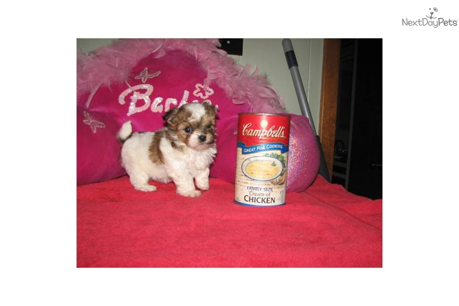 -tiny-malti-poos-and-t-cup-designer-breeds---dog-malti-poo-maltipoo